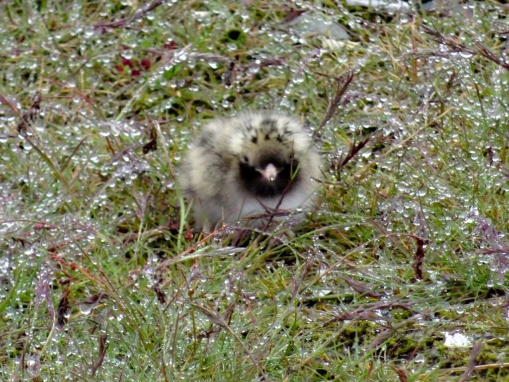 Flaumiges Küstenseeschwalben-Kücken im taunassen Gras. 22.06.2015
