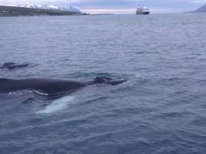 Wale nahe an der Ambassador, weiter draussen dreht ein Kreuzfahrtschiff Beobachtungsrunden. 07.08.2015