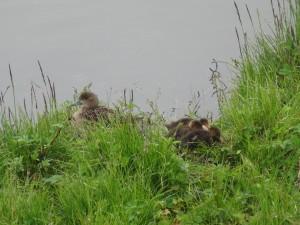 Am Myvatn wimmelt es von jungen Enten verschiedenster Arten. 29.08.2015