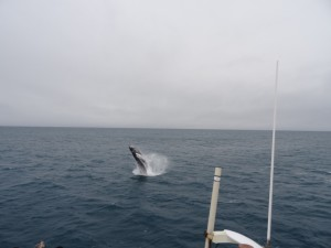 Tolle Begrüssung durch einen Buckelwal bei Sandgerdi an der Halbinsel Reykjanes. 05.03.2016