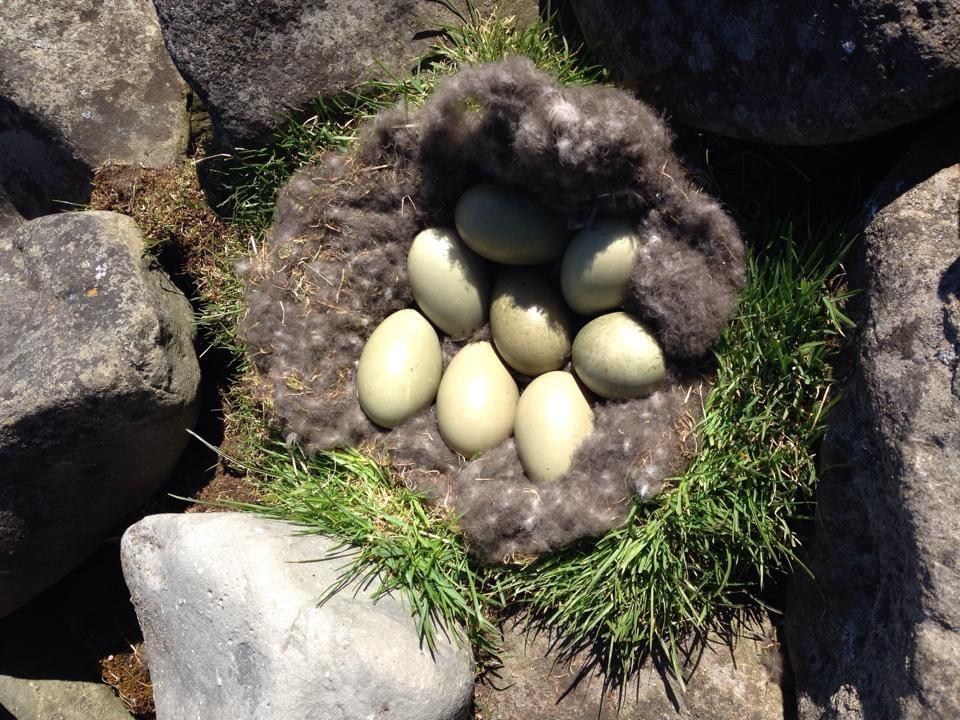 Eiderenteneier im mit Daunen ausgelegten Nest. Acht Stück sind selten. Bild von Stefan in Flatey bei Husavik, 15.05.2016