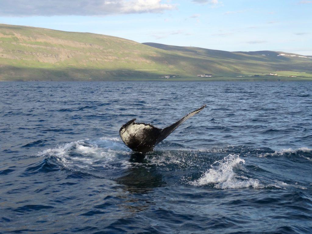Schwanzflosse eines Buckelwals im Eyjafjördur. 14.07.2016